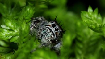 jumping spider macro 1280x800